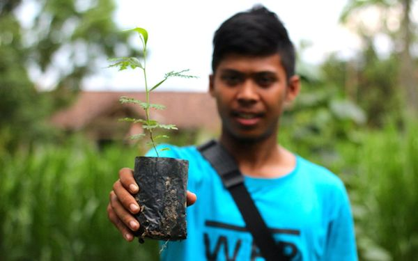 Acacia seedlings are grown and planted in and around communities in Lampung, Sumatra, to help relieve logging pressures on natural forest. Photo by Ridzki R. Sigit.
