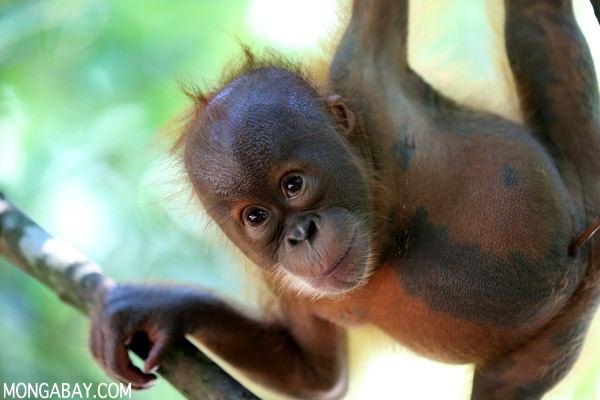 Sumatra is home to many threatened and unique species, such as the critically endangered Sumatran orangutan (Pongo abelii). Photo by Rhett A. Butler.