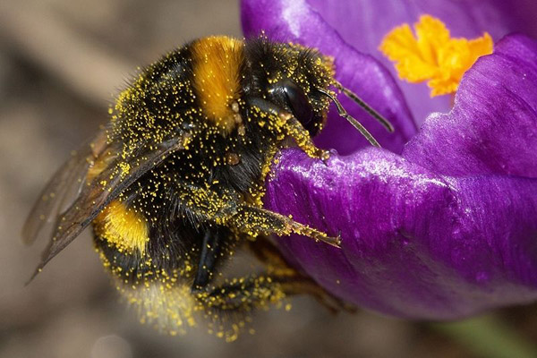 A bumblebee (Bombus terrestris) covered in pollen. Photo by: P7r7/Creative Commons 3.0