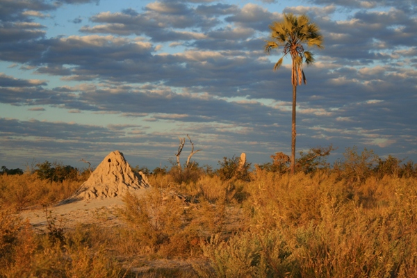 Palm tree and termite mound: typical scenery in Okavango Delta in Botswana. Photo by Tiffany Roufs.