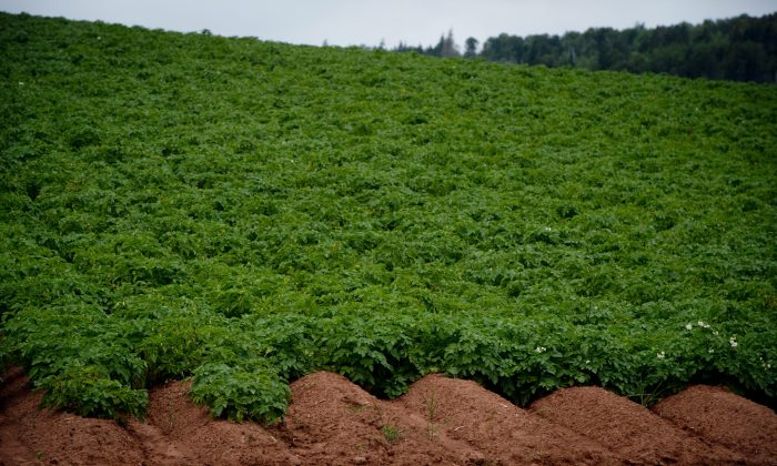 A potato field in French River, P.E.I., Aug. 14, 2013. Continuing a trend, the amount of land dedicated to growing vegetables dropped almost 4 percent last year compared to 2013 levels, according to Statistics Canada. (The Canadian Press/Jonathan Hayward)