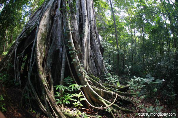 Strangler fig in Sulawesi. Photos by Rhett A. Butler.