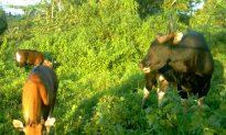 Malaysia Shocked by Poaching of Rare Banteng