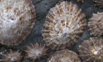 Nature's Strongest Material Comes From Sea Snails (Video)