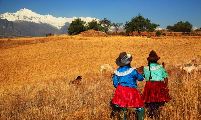 Harvesting in Cordiliera Negra, Peru via Shutterstock*