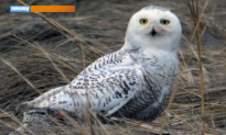 Snowy Owls Have Come to New York City (Video)