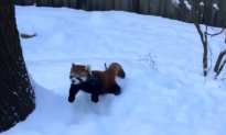 Two Red Pandas Playing in the Snow (Video)