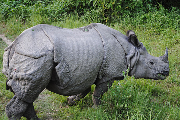 Indian rhino in Bardiya National Park in Nepal. Photo by: Krish Dulal/Creative Commons 3.0.