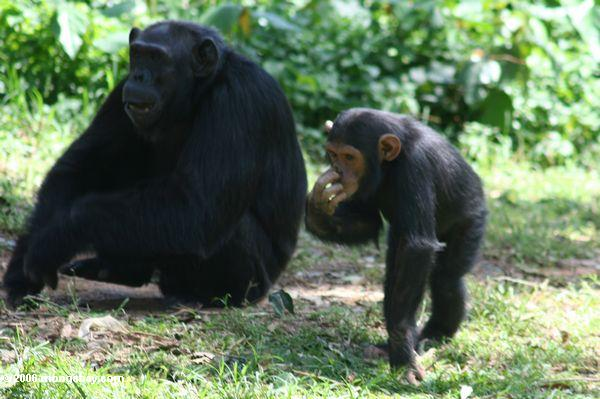 Many chimpanzees (Pan troglodytes, Endangered) in East Africa live in habitat threatened by oil palm expansion. Photo by Rhett A. Butler.