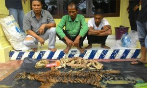 Tiger Poachers Caught in Indonesia Authority Sting Operation