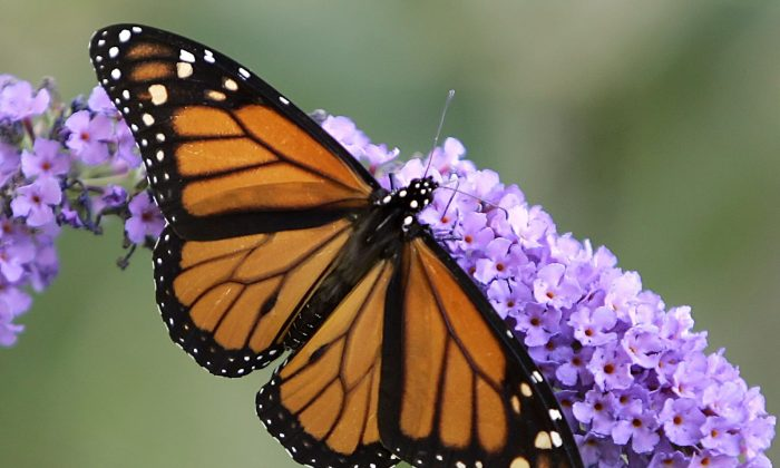 A monarch butterfly feeds on the flowers of a butterfly bush in Omaha, Neb. Conservationists say a concerted national effort to plant milkweed is needed to reverse a precipitous decline in the monarch, which migrates thousands of miles between Canada, the U.S., and Mexico each year. (AP Photo/Nati Harnik)