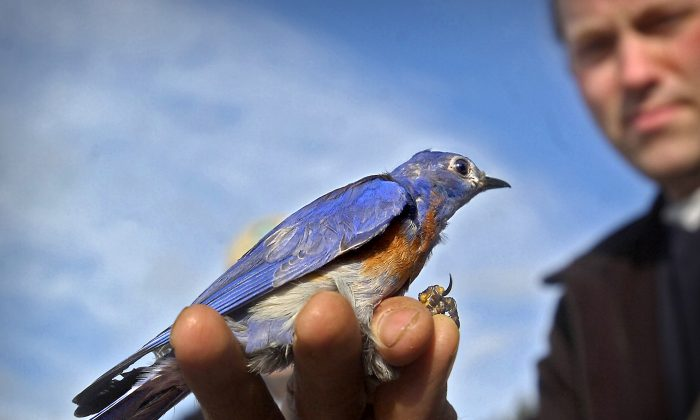 Biologist Jim Lynch shows off a male bluebird. (AP Photo/The News Tribune, Lui Kit Wong, File)