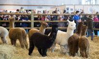 Alpacas and Their Immune System May Aid in COVID-19 Fight