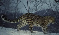 Photos: Amur Leopard Population Hits At Least 65