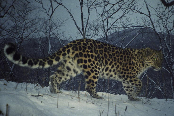 Camera trap of Amur leopard. The Amur leopard evolved its thick coat to keep warm in the cold, long winters. Photo by: WWF.
