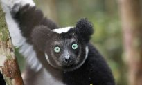 The Disturbing Backstory to the 'Cute Lemur' Viral Video