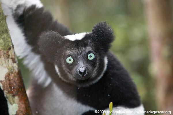 Indri lemur (Indri indri). Photo by: Rhett A. Butler.