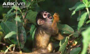 One Subspecies of Squirrel Monkeys In Danger of Extinction