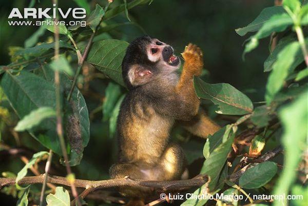 Vanzolini's squirrel monkey (Saimiri boliviensis), with its distinctive black cap. Photo Credit: Arkive.