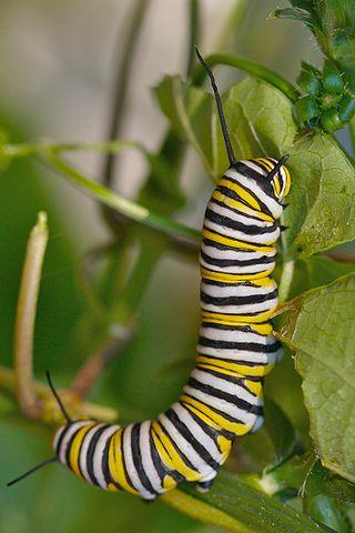 Monarch caterpillar. (Ryan E. Poplin /CC BY-SA 2.0/Wikimedia Commons)