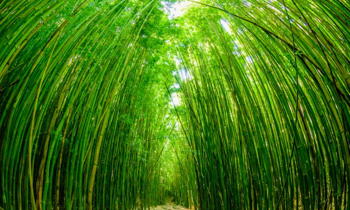 Path through a tall bamboo forrest on the Road to Hana on Maui via Shutterstock*