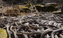 500 Snakes Surprise Construction Workers in Canada (Video)