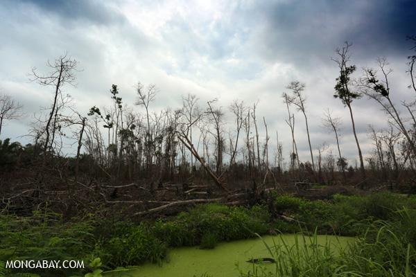 An acacia plantation that was burned in Riau by villagers seeking to establish an oil palm plantation. Photos by Rhett A. Butler.