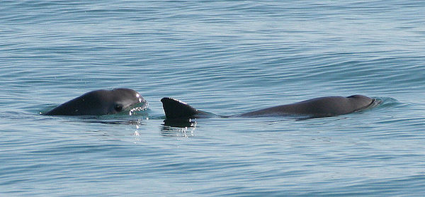 Vaquitas (Phocoena sinus) are more solitary than other cetacean species, but are sometimes found in small groups. Photo by: Paula Olson, NOAA.