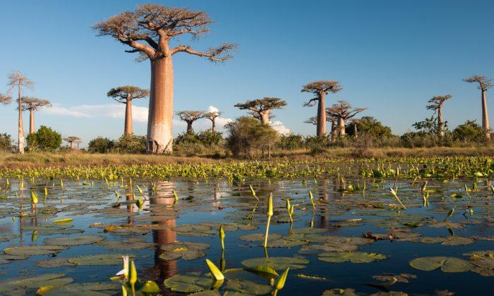 Baobab trees in Madagascar via Shutterstock*