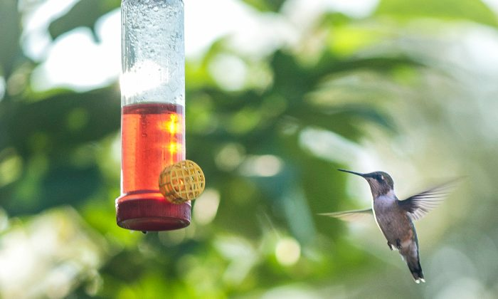 Ruby-throated hummingbird in flight to feeder. (Cat Rooney/Epoch Times)