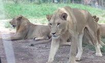 'Lock the door!': Lion Opens Car Door, Freaks Out Family