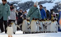 Scientists Squabble While Africa's Only Penguins Perish