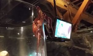 See a Giant Octopus Desperately Trying to Escape its Tank
