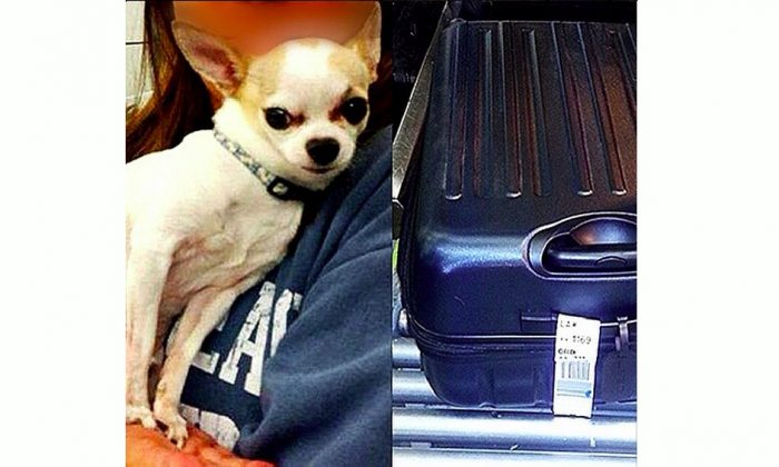 A live Chihuahua that was found in a checked bag at New York's LaGuardia Airport on March 6, 2015. (blog.tsa.gov)