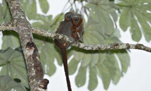 New Monkey Species Found In Threatened Amazon Forest