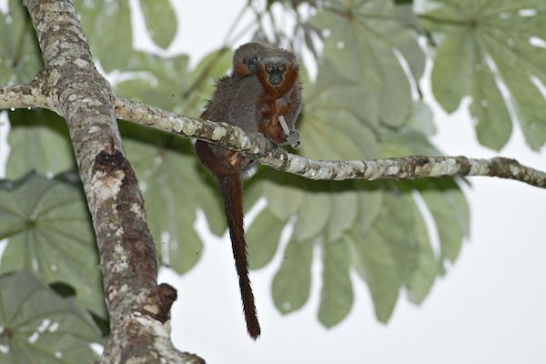 A pair of Milton's titi monkeys (Callicebus miltoni). Photo by credit Adriano Gambarini.