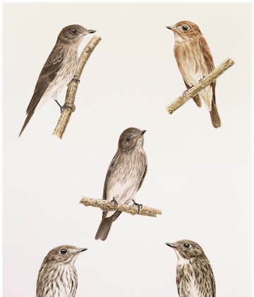 Muscicapa sodhii (Sulawesi Streaked Flycatcher; upper left and center) in comparison to M. dauurica williamsoni (Asian Brown [Brown-streaked] Flycatcher; upper right), M. s. sibirica (Dark-sided Flycatcher; lower right), and M. griseisticta (Gray-streaked Flycatcher; lower left). Original painting by Teo Nam Siang, courtesy of Harris et. al, 2014.