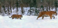 Tiger family photo surprises scientists