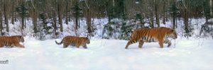 Tiger family photo surprises scientists