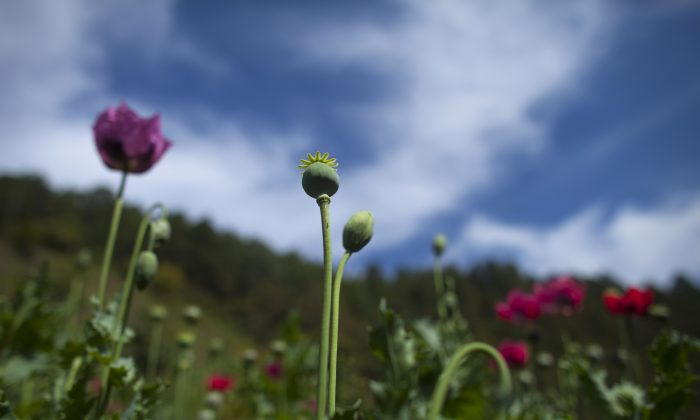 Poppy flowers grow in the Sierra Madre del Sur mountains in Guerrero state, Mexico, Monday, Jan. 26, 2015. Mexican heroin has become cheaper and more powerful at a time when Americans hooked on pharmaceutical opiates are looking for an affordable alternative. (AP Photo/Dario Lopez-Mills)