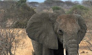 Elephants in East Africa Have New Protection Plan