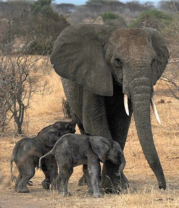 Rarely seen day-old twin elephants photographed near Mwagusi in Ruaha National Park. Photo credit: Tim Davenport / WCS.
