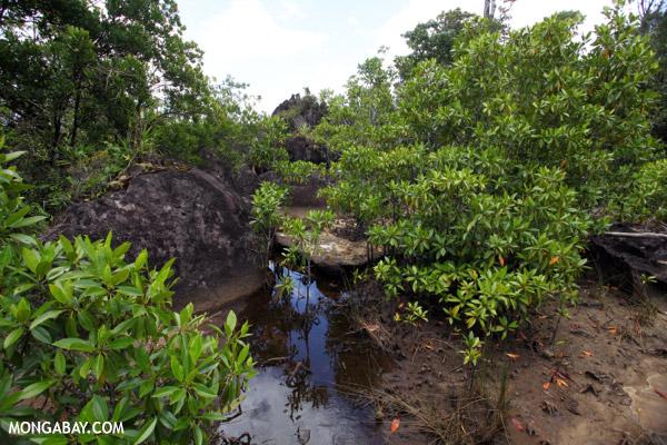 Mangrove forest in Masoala National Park, Madagascar. Photo by Rhett A. Butler.