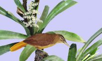 Newly Discovered Bird May Number Only 10 Individuals