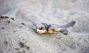 Leatherback Sea Turtles Use Mysterious 'Compass Sense' to Migrate Hundreds of Miles