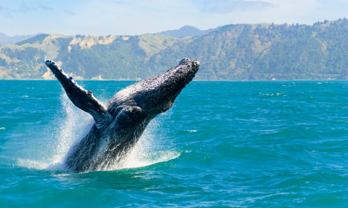 A massive humpback whale playing in water via Shutterstock*