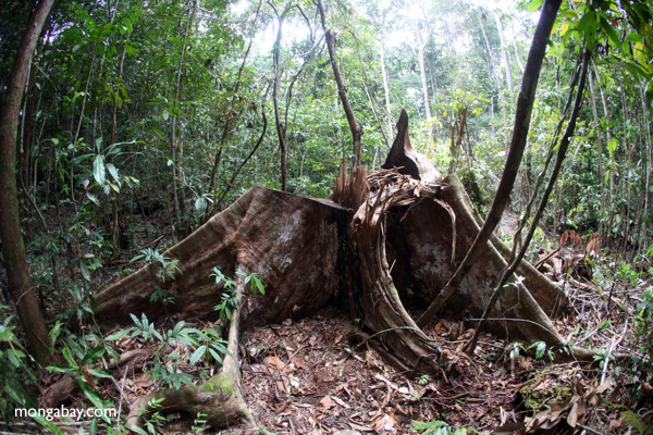 Illegal logging in Indonesian Borneo. Photos by Rhett A. Butler