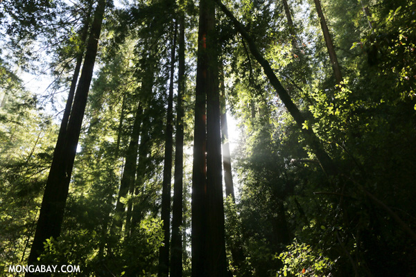 Redwoods in Big Basin State Park, California. Photo by Rhett A. Butler.
