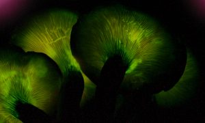 Some Mushrooms Glow in the Dark: Here's Why
