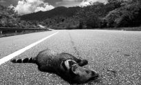 Southeast Asia Roads Hurting Wildlife and Forests